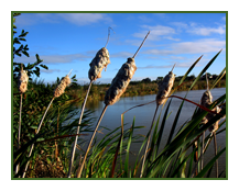 bullrushes overlooking the fishing at redwood park